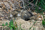 Feral cat laying in straw bed with fallen branches looking at camera, wide shot.