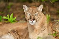 Florida panther, Puma concolor coryi, Florida, captive