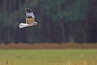 Kornweihe, Korn-Weihe, Weihe, Männchen im Flug, Flugbild, Circus cyaneus, hen harrier, northern harrier, male in flight, Le Busard Saint-Martin