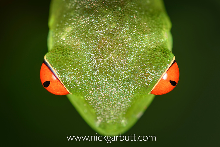 Eyes of female Red-eyed Tree Frog (Agalychnis callidryas) - Caribbean slope race (blue flanks). Mid-altitude rainforest near Aranal, central Costa Rica.