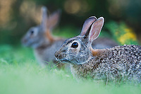 Eastern Cottontail (Sylvilagus floridanus), adults, Rio Grande Valley, Texas, USA