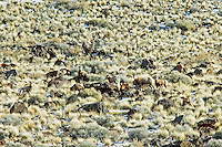 Big Horn Sheep in snow. Abert Rim, Oregon