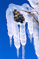 Ice Covered Red Grapes hanging on the Vine for the Ice Wine Harvest, in the South Okanagan Region of British Columbia, BC, Canada