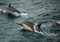 Common dolphins off San Diego.