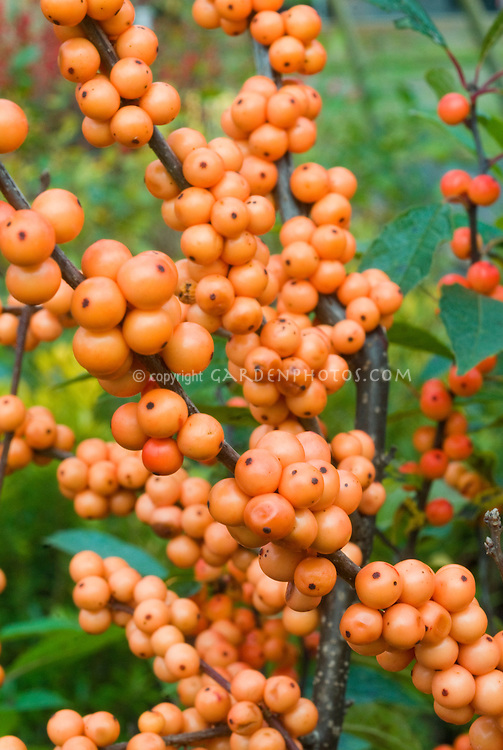 Ilex verticillata 'Winter Gold' berries