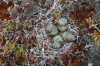 Nest and eggs of Ruddy Turnstone (Arenaria interpres) on tundra. Yukon Delta National Wildlife Refuge. Alaska. June.