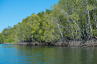 Mangrove trees at Kilim river, Langkawi, Malaysia