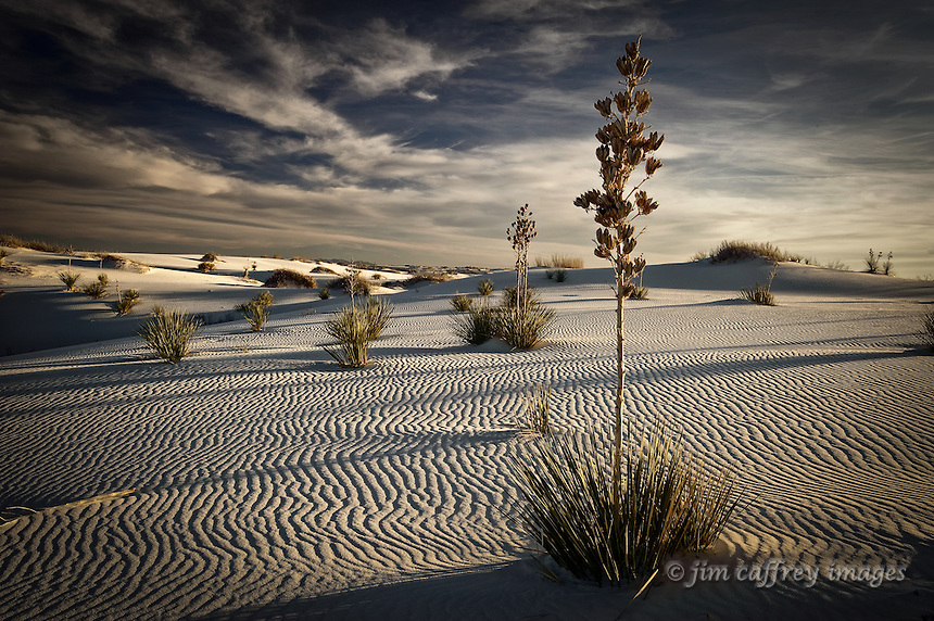 Yuccas on a dune field in White Sands National Monument, the rippled texture of the dunes accentuated by the low angle of the setting sun.