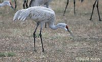 0102-1015  Flock of Sandhill Cranes Eating in Field during Winter, Grus canadensis  © David Kuhn/Dwight Kuhn Photography