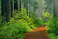 Western rhododendron and coast redwoods<br /> Lady Bird Johnson Grove Trail<br /> Redwood National Park<br /> Humboldt County,  California