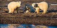 Polar bears walking the shore of the Beaufort Sea in Alaska Alaska Polar Bear Photography Prints