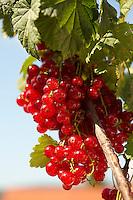 Fresh Redcurrants on a Redcurrant bush