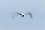 Herring Gull (Larus argentatus) flying, Santa Cruz, Monterey Bay, California