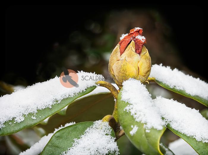 Red Rhododendron flower bud in snow in Asheville NC