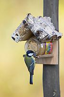 Kohlmeise an der Vogelfütterung, Fettfutter, Erdnussbutter, Kohl-Meise, Meise, Meisen, Parus major, great tit. Ganzjahresfütterung, Vögel füttern im ganzen Jahr, Vogelfutter der Firma GEVO