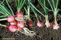 HS16-071x  Onion - tap roots - Purplette mini variety