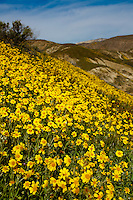 Carrizo Plains, California spring wildflowers