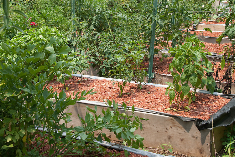 Peppers growing in raised beds of wood in vegetable garden