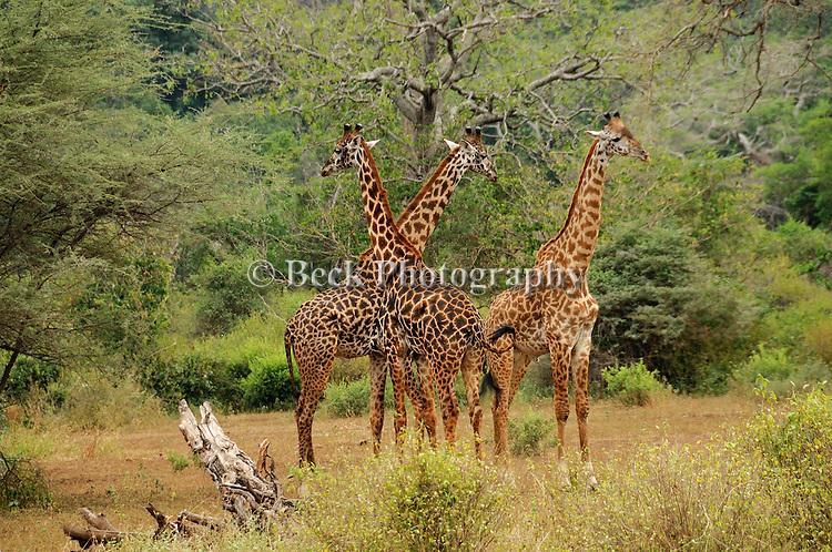 Three giraffes near Lake Manyara, Africa