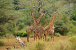 Three giraffes near Lake Manyara, Africa