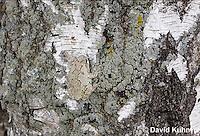 0202-0902  Eastern Gray Treefrog on White Bark (Grey Tree Frog), Hyla versicolor  © David Kuhn/Dwight Kuhn Photography