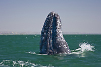 Adult California Gray whale (Eschrichtius robustus) spy-hopping in San Ignacio Lagoon on the Pacific Ocean side of the Baja Peninsula, Baja California Sur, Mexico. Each winter thousands of California gray whales migrate from the Bering and Chukchi seas to breed and calf in the warm water lagoons of Baja California. San Ignacio lagoon is the smallest of the three major such lagoons. Current (2008) population estimates put the California Gray wha at between 20,000 and 24,000 animals.
