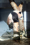 December 18, 2017, Tokyo, Japan - Female giant panda cub Xiang Xiang climbs a tree at a press preview at the Ueno Zoological Gardens in Tokyo on Monday, December 18, 2017. The zoo will put Xiang Xiang, born in June from her mother Shin Shin, on display for public from December 19.    (Photo by Yoshio Tsunoda/AFLO) LWX -ytd-