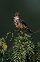 Vermillion Flycatcher, Pyrocephalus rubinus, female, Lake Corpus Christi, Texas, USA, May 2003