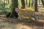 Female Bengal tiger (Panthera tigris tigris) walking through sal (Shorea robusta) forest. Bandhavgarh National Park, Madhya Pradesh, Central India.