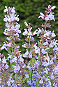 Common sage (Salvia officinalis) in flower, mid May.