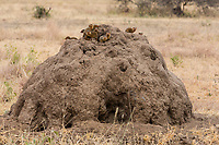 Tanzania. Tarangire National Park, Termite Mound, with Common Dwarf Mongooses, or Pygmy Mongooses (Helogale parvula), on Top.