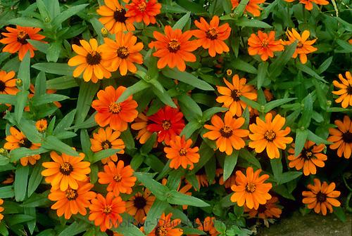 Narrow leaf Zinnias Profusion Orange,Mo.