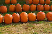 Schenectady, NY. Rows of pumpkins at pumpkin farm. ID: AK-ICP. © Ellen B. Senisi