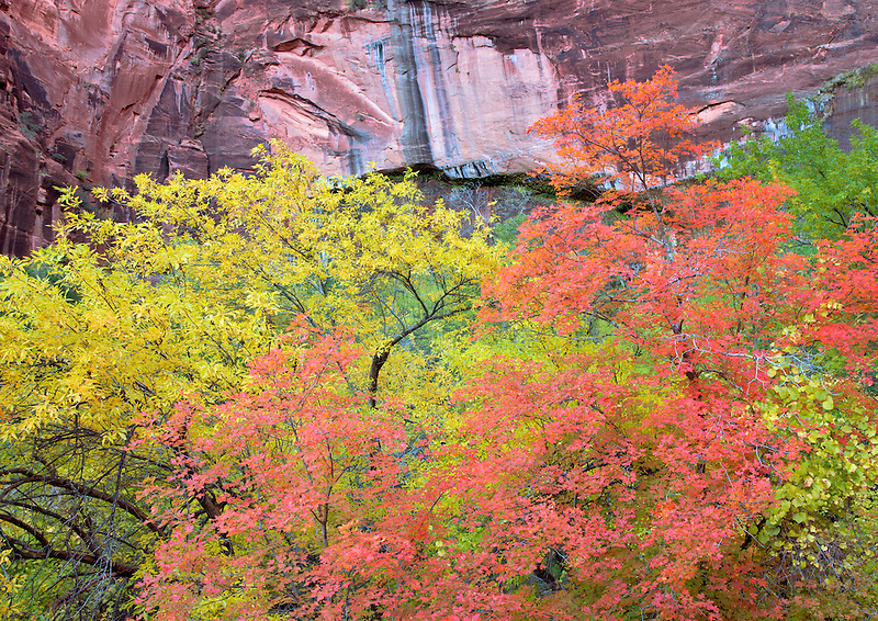 Fall colored Bigtooth Maple trees. Zion National Park, Urah