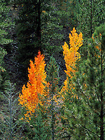 Art in Nature 9609-0156 - Two autumn Aspens contrast amongst evergreen trees in a forest in southern Utah. Utah.