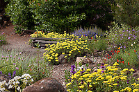 Repeated plantings of yellow flower yellow Sulfer Buckwheat (Eriogonum umbellatum) in mixed beds in Kyte drought tolerant California native plant garden