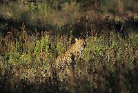 Leopard (Panthera Pardus) Africa