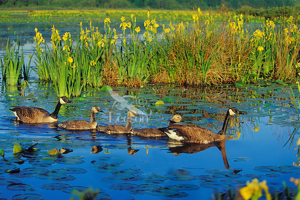 Canadian Geese (Branta canadensis) family.