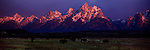 Bison graze during sunrise in Grand Teton National Park, Wyoming.
