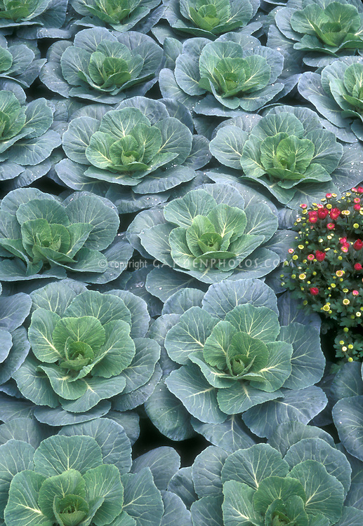 Rows of Ornamental Brassica with Chrysanthemums in autumn