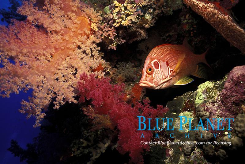 sabre squirrelfish, Adioryx spinifer, Red Sea with soft corals