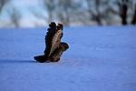 Great Gray Owl hunting a snowy field in Minnesota.