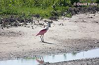 0904-0901  Roseate Spoonbill (Rosy Spoonbill) on Shoreline of Marsh, Ajaia ajaja © David Kuhn/Dwight Kuhn Photography