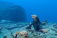 Hawaiian monk seal, Neomonachus schauinslandi, Critically Endangered endemic species, male, Lehua Rock, off Niihau, USA, Pacific Ocean