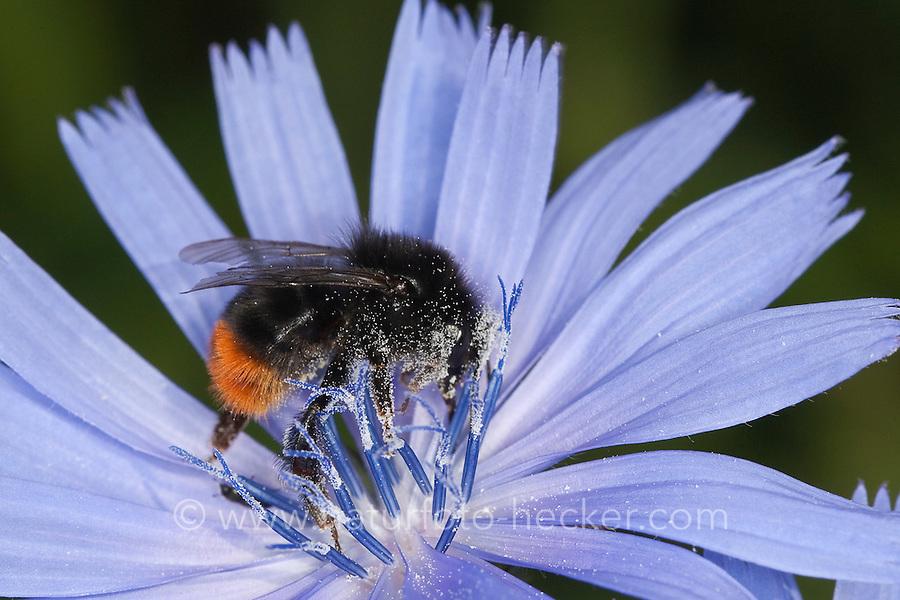 Steinhummel, Stein-Hummel, Bombus lapidarius, Pyrobombus lapidarius, Aombus lapidarius, Männchen beim Blütenbesuch auf Wegwarte, Nektarsuche, Bestäubung, red-tailed bumble bee