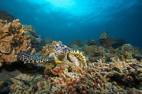 A critically endangered hawksbill turtle, Eretmochelys imbricata, on a coral reef in Southern Leyte, Philippines
