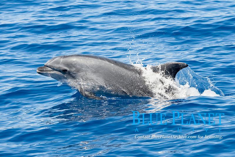 Common Bottlenose Dolphin (Tursiops truncatus) adult animal porpoising. Azores, Atlantic Ocean