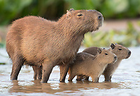 """I'm not a big fan of adult capybaras, but the """"babybaras"""" sure are cute."""
