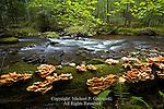 Sulphur Shelf Fungus along Swift Run in the Bald Eagle State Forest, Pennsylvania