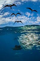 magnificent frigatebird, Fregata magnificens, and Atlantic sailfish, Istiophorus albicans, hunting round sardinella or Spanish sardines, Sardinella aurita, baitball, Isla Mujeres, Mexico, Gulf of Mexico, Caribbean Sea, Atlantic Ocean